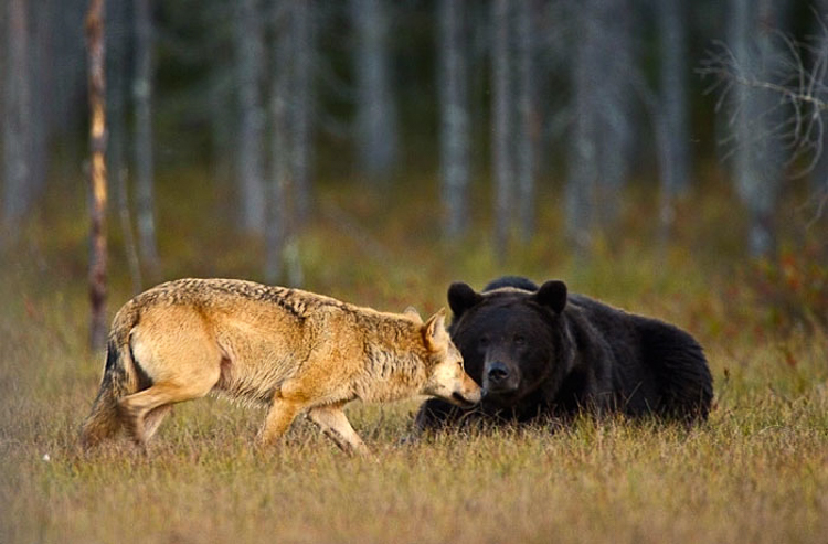 2_bear-and-a-wolf-best-friends