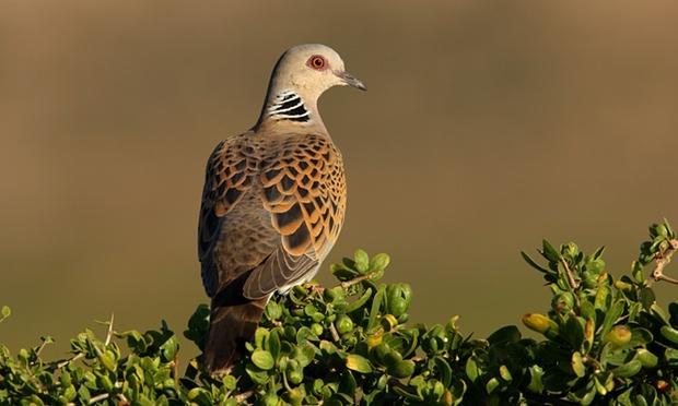 Akdeniz'de her yıl 25 milyon kuş yasadışı öldürülüyor üveyik