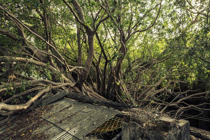 Banyan ağaçları terk edilmiş tuz ambarlarını kuşatıyor 4