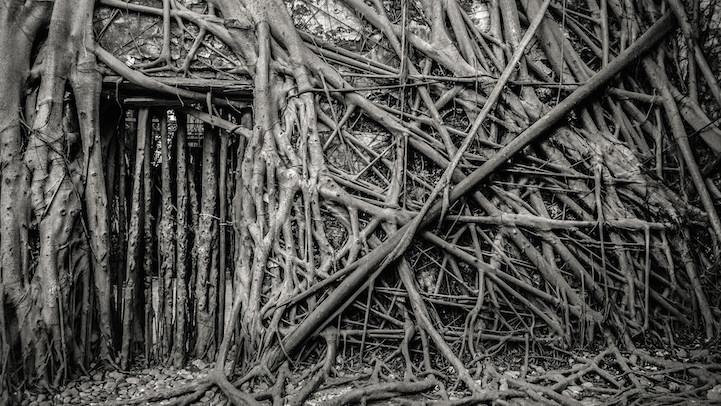 Banyan ağaçları terk edilmiş tuz ambarlarını kuşatıyor 5