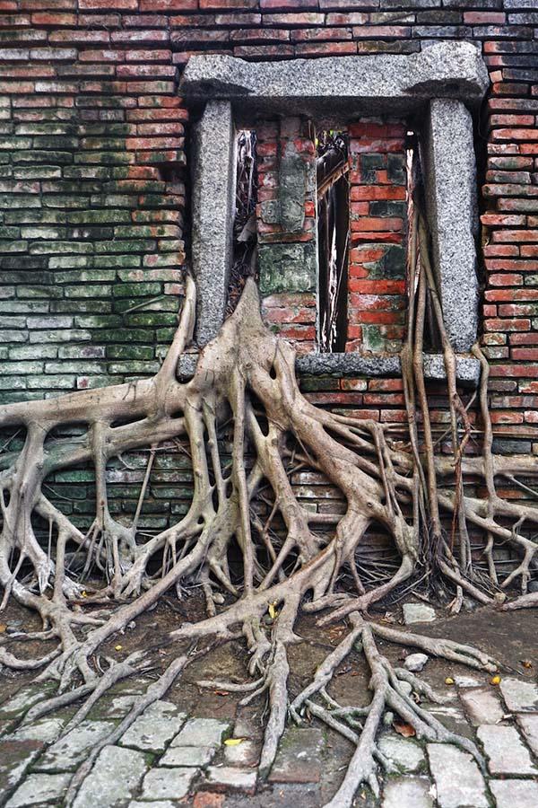 Banyan ağaçları terk edilmiş tuz ambarlarını kuşatıyor 7