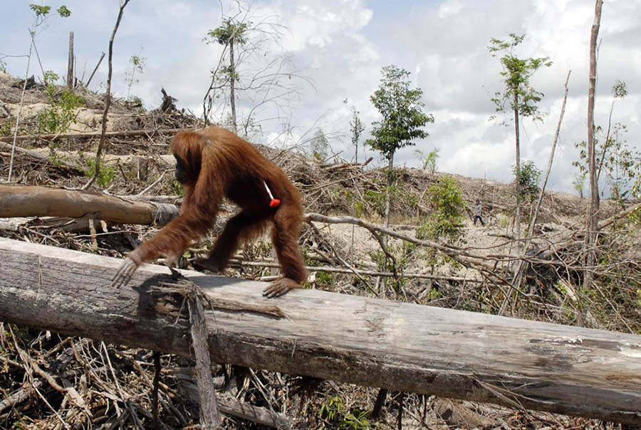 """(Fotoğraf: AFP Photo)  İnsanoğlu Palm Yağı İçin Orangutanları """"Acı İçinde Öldürüyor"""" Orangutan Palm Ya C4 9F C4 B1 3"""