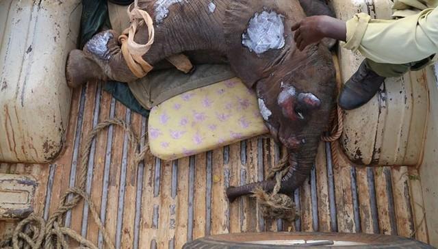 Yaralanmış yavru fil, dramatik kurtarma sırasında ailesi için ağlıyor 1