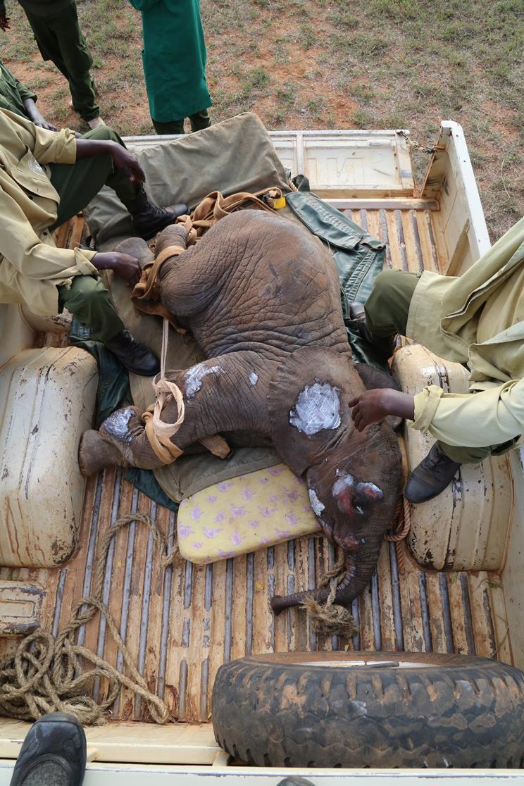 Yaralanmış yavru fil, dramatik kurtarma sırasında ailesi için ağlıyor 3