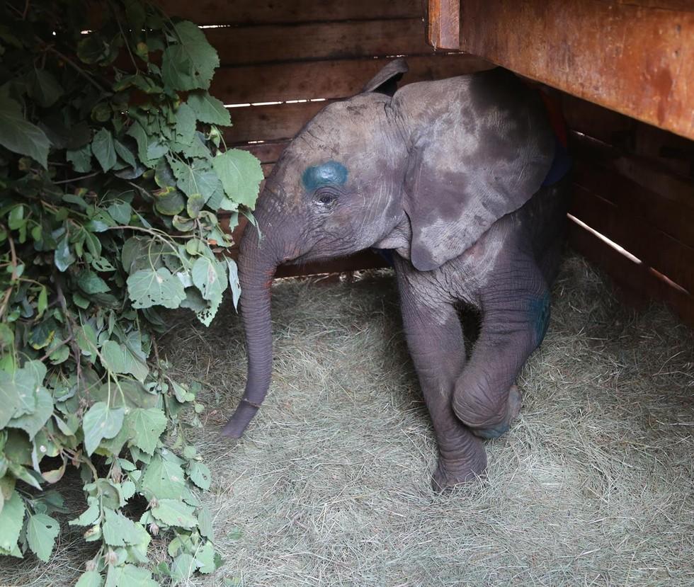 Yaralanmış yavru fil, dramatik kurtarma sırasında ailesi için ağlıyor 5
