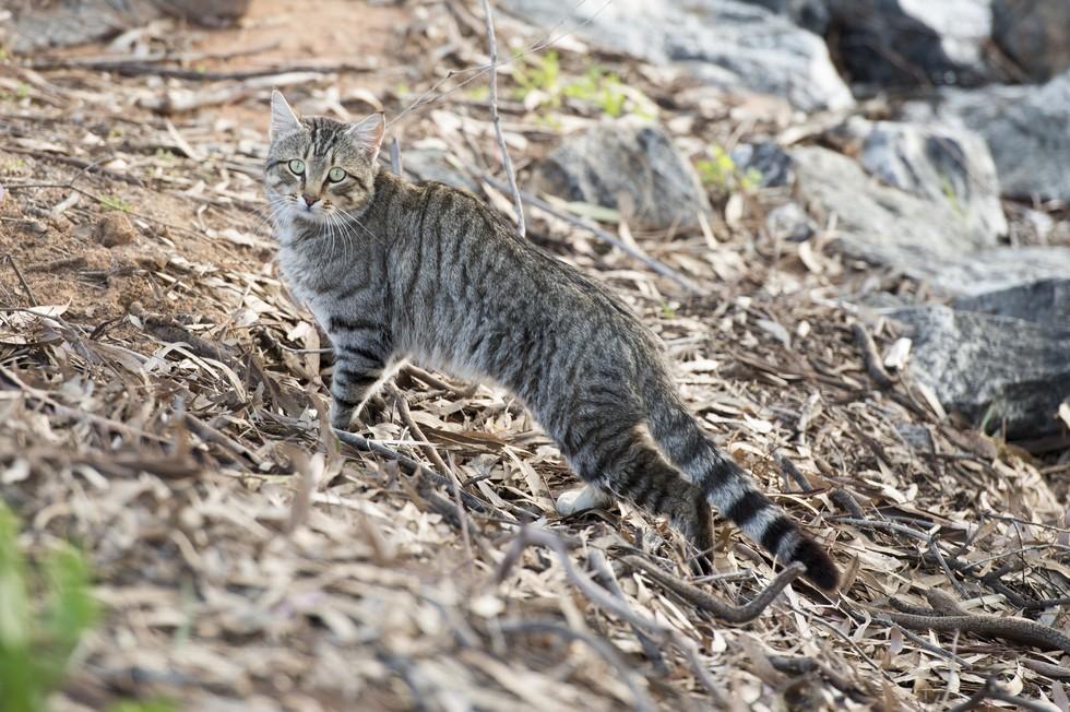 avustralya kedi katliamı 1