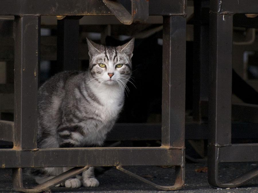 avustralya kedi
