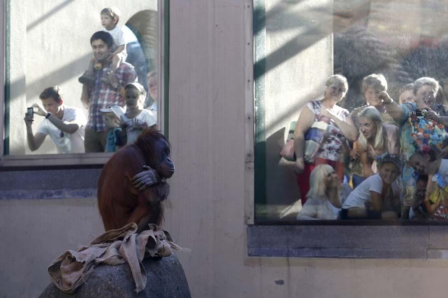 hayvanat bahçesi, moskova, orangutan