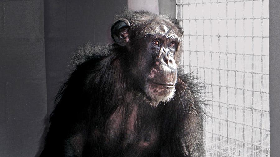 Şempanze Esaret 2