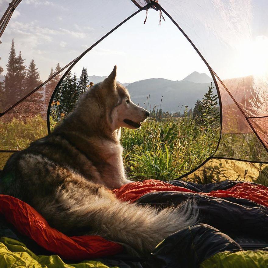 kurt köpeği Loki
