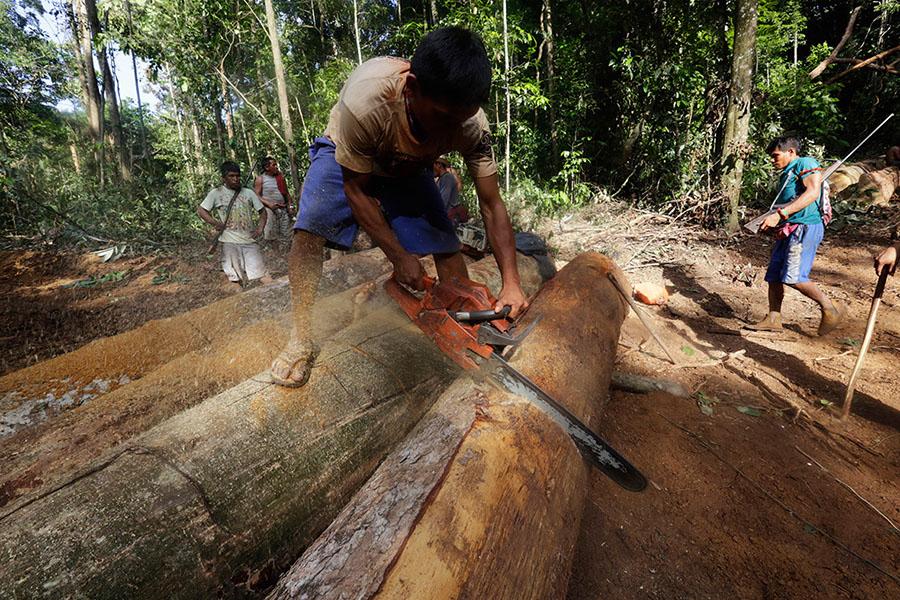 Ka'apor kabilesinden bir kişi yasa dışı bir şekilde kesilmiş ağaçları kullanmak üzere testereyle kesiyor (Fotoğraf: Lunae Parracho/Reuters)