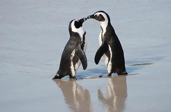 Eşcinsel penguenler heteroseksüel penguenlerin yumurtalarını çalıyor 2