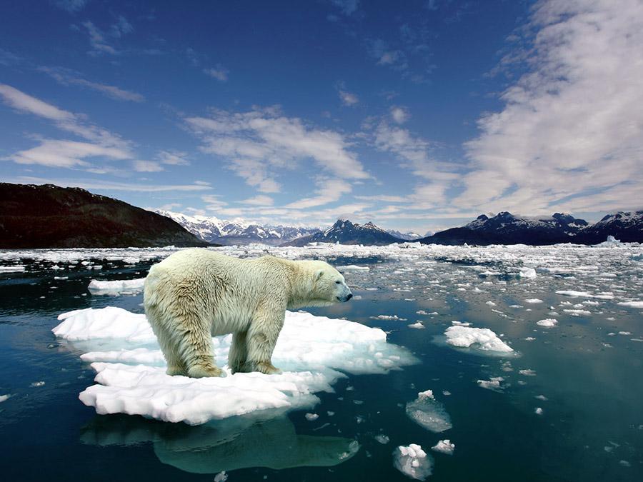 Kutup Ayısı Buzul Erime
