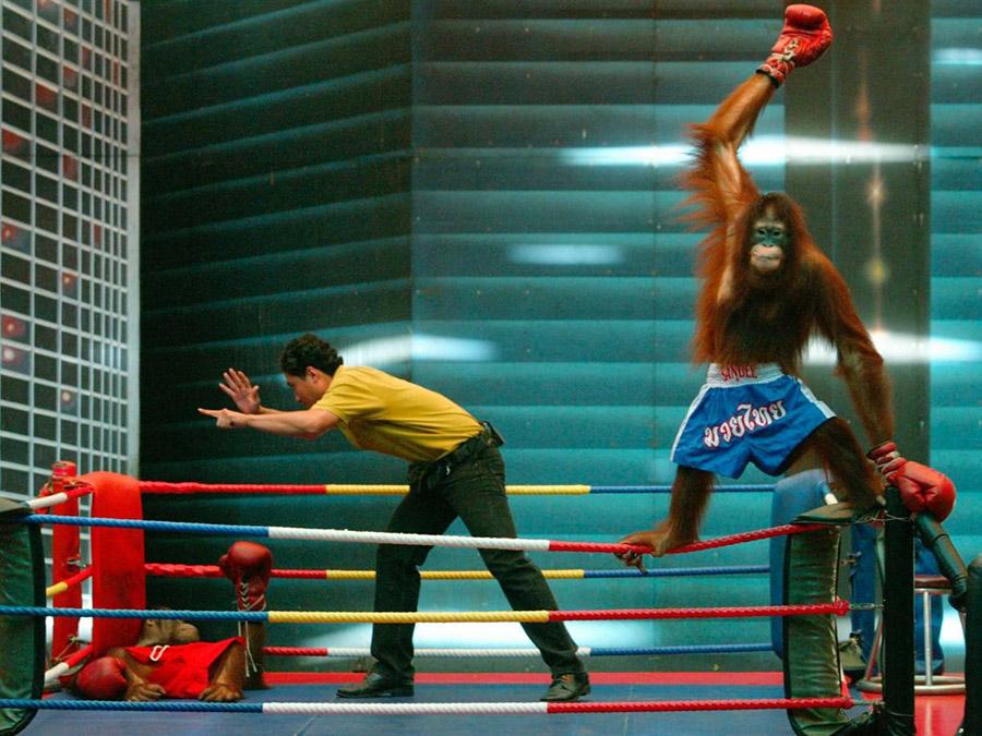 Orangutan Boks 2