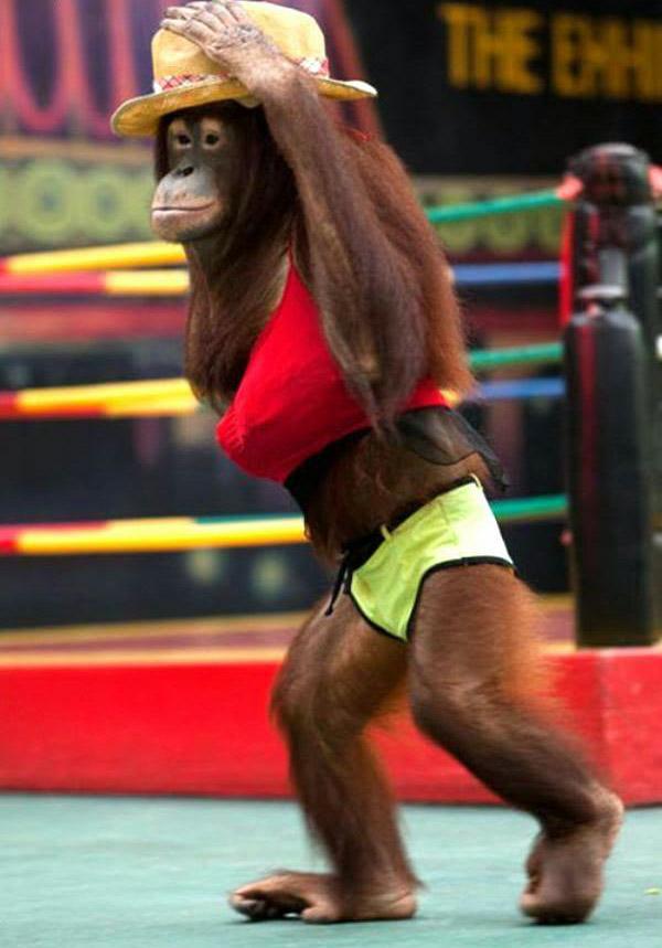 Orangutan Boks 3