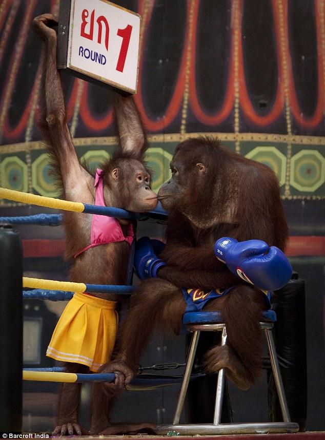 Orangutan Boks 4