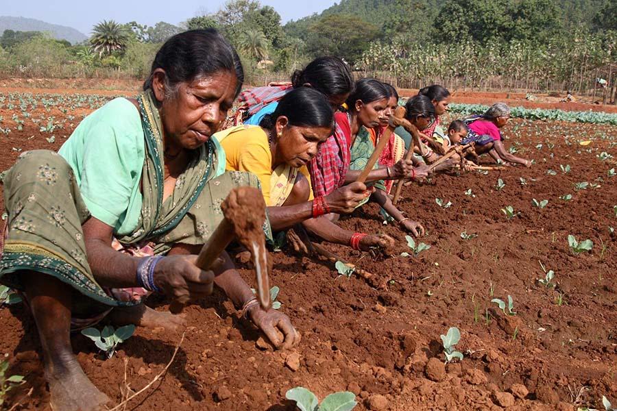 Sürdürülebilir tarım için Hindistan'da yeşeren umutlar 1B