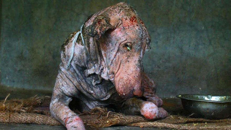 Sağlıklı Köpek 3  Neredeyse ölmek üzereyken bulunan köpeğin 2 ay içindeki inanılmaz değişimi Sa C4 9Fl C4 B1kl C4 B1 K C3 B6pek 3