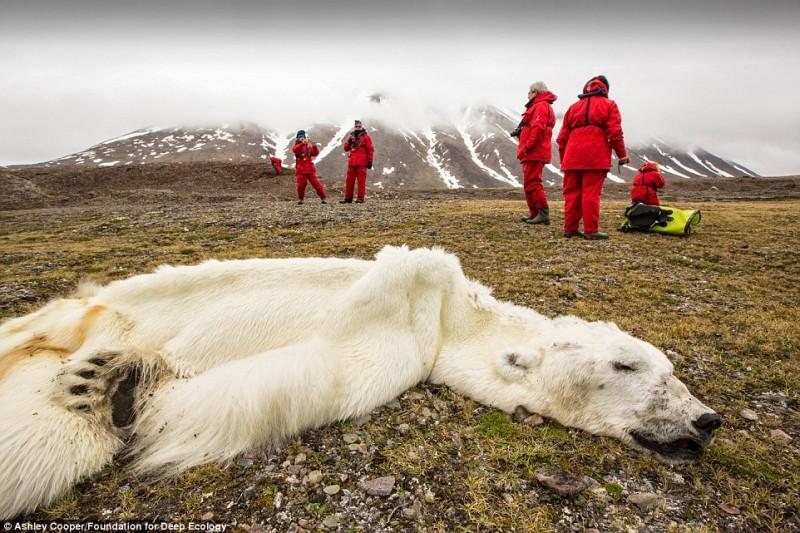 Svalbard Kutup Ayısı
