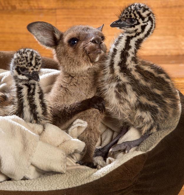 Yavru kanguru ve devekuşları 1