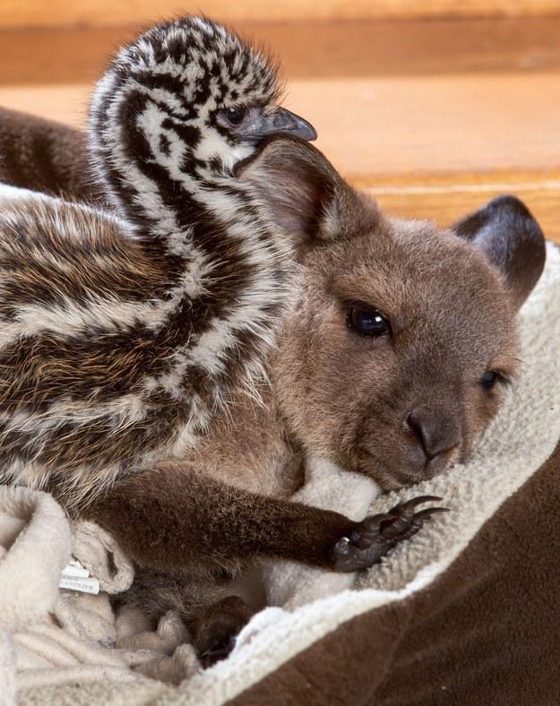 Yavru kanguru ve devekuşları 2