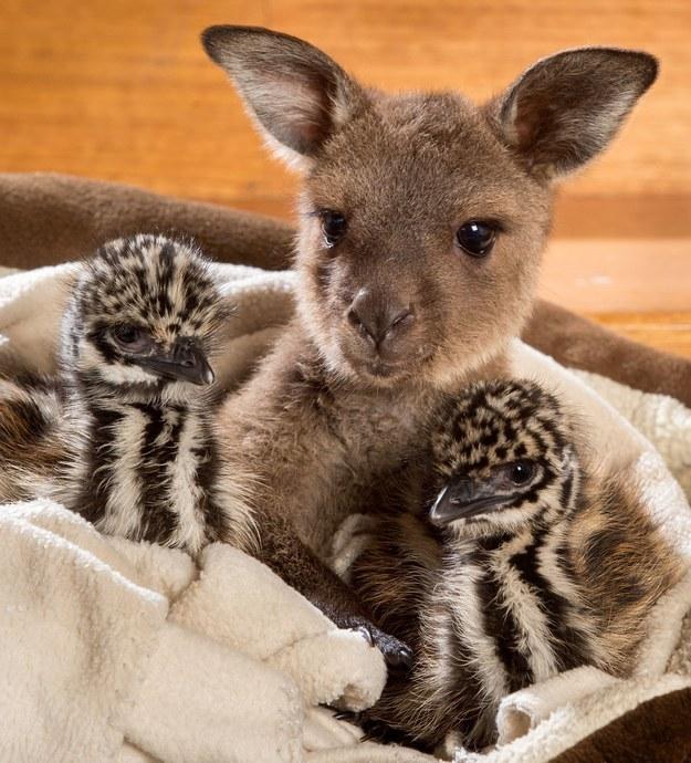 Yavru kanguru ve devekuşları 3