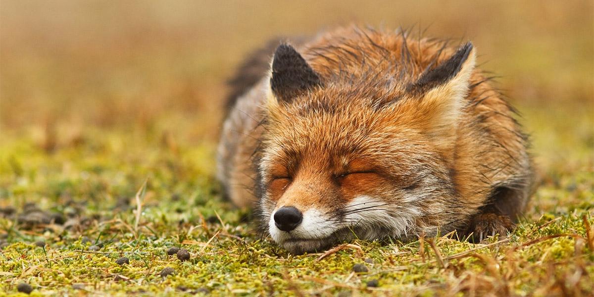 Doğayı akışına bırakan huzurlu Zen tilkileri