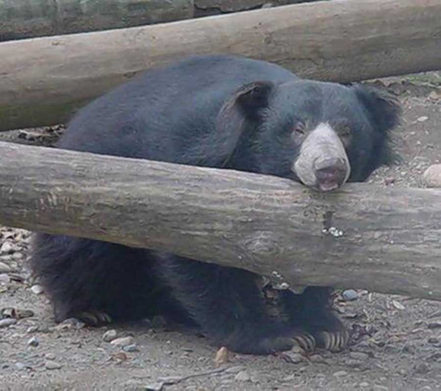 beargoof1