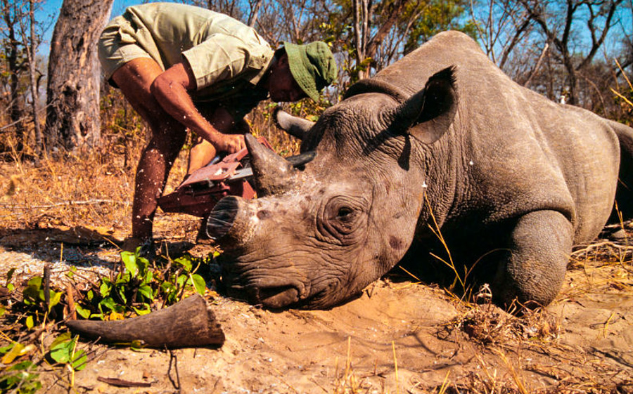 Dehorning of a rhinoceros by a field researcher Zimbabwe Project number: ZW0021