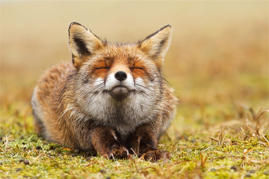 zen-foxes-1