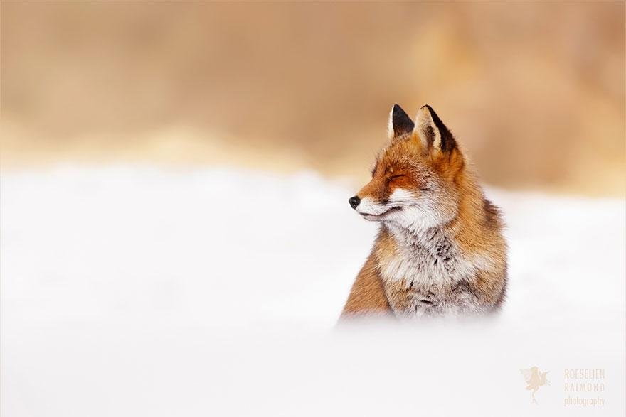 zen-foxes-10