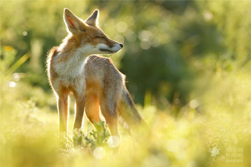 zen-foxes-11