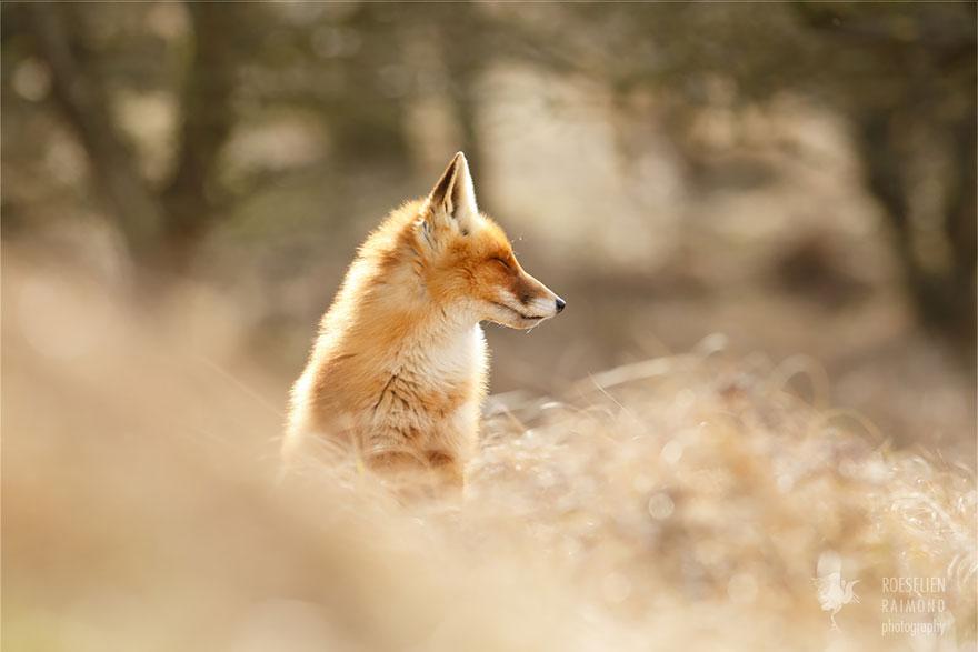 zen-foxes-8