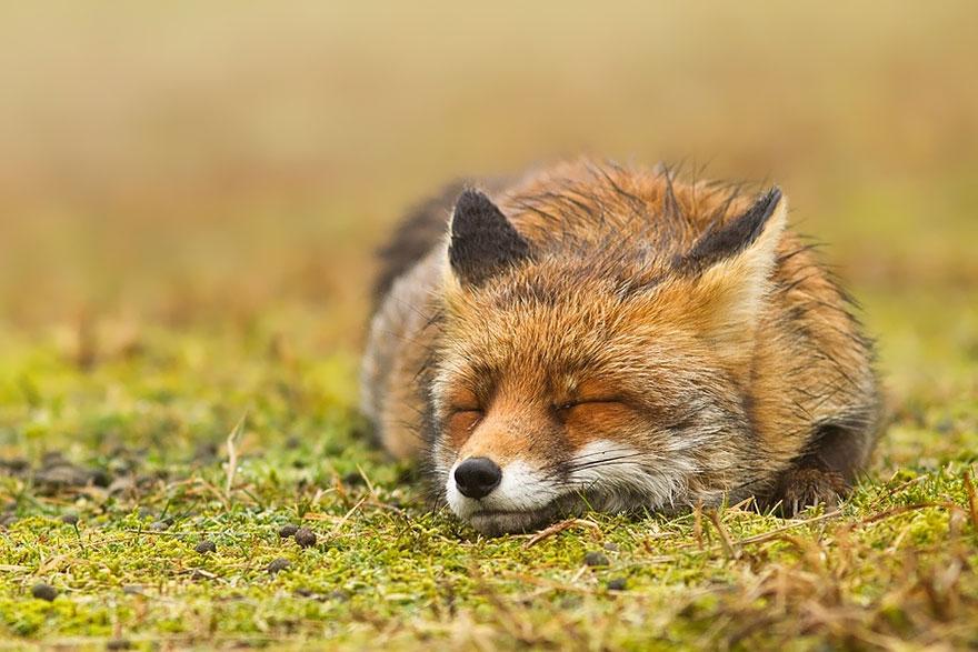 zen-foxes-9