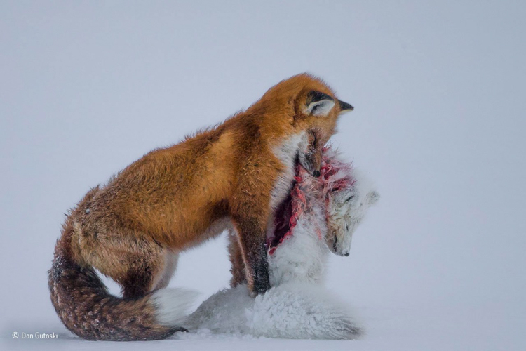 1-tale-of-two-foxes