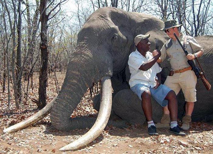 Afrika Fil Zimbabve  Devlet izinli cinayet: Afrika'nın en büyük fili öldürüldü Afrika Fil Zimbabve