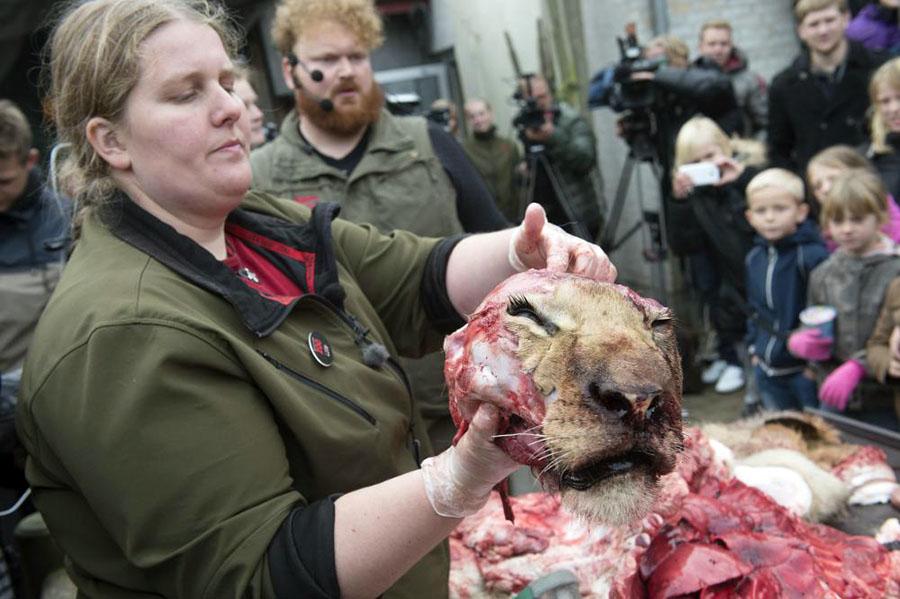 Aslan Danimarka Hayvanat Bahçesi 3