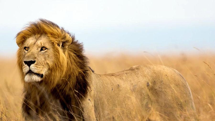 Cecil Aslan 1  Devlet izinli cinayet: Afrika'nın en büyük fili öldürüldü Cecil Aslan 1