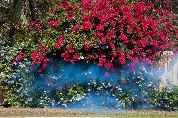 Dumandan çiçekler - Amerika, Florida