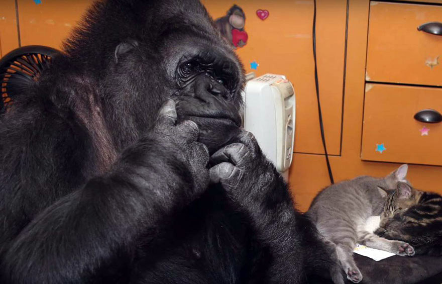 Goril Koko 2