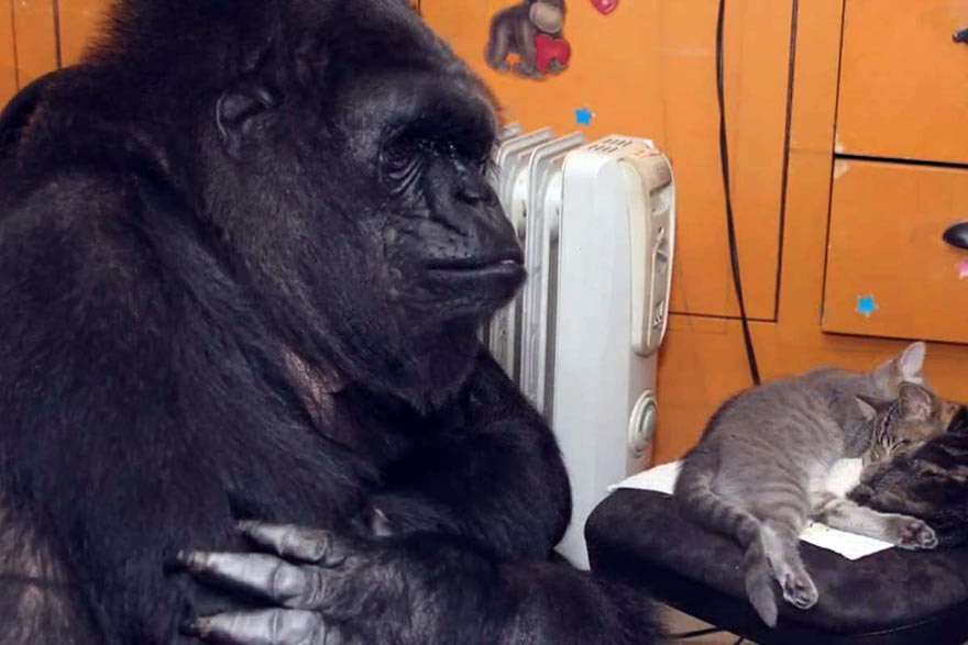 Goril Koko 3