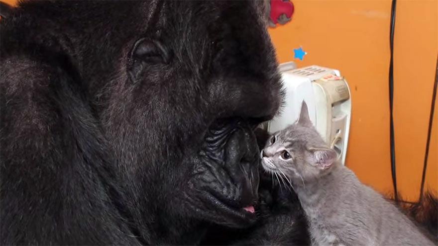 Goril Koko 4