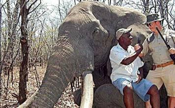 Devlet izinli cinayet: Afrika'nın en büyük fili öldürüldü