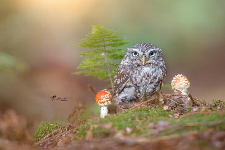 Yağmur bastırınca mantarı şemsiye niyetine kullanan bu baykuşa bayılacaksınız 2