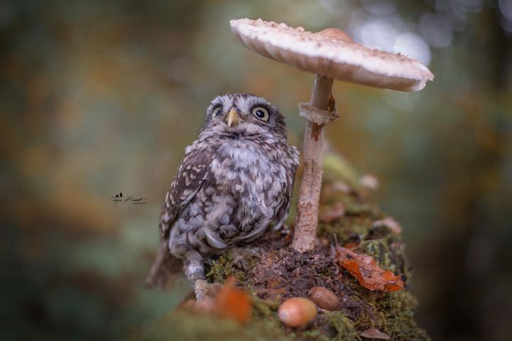 Yağmur bastırınca mantarı şemsiye niyetine kullanan bu baykuşa bayılacaksınız 6