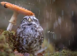 Yağmur bastırınca mantarı şemsiye niyetine kullanan bu baykuşa bayılacaksınız