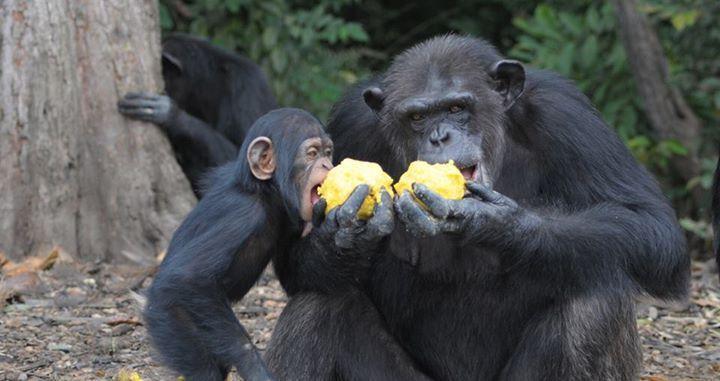 Adada açlığa terk edilen şempanzeler, ellerindeki sınırlı miktardaki yemeklerini de paylaşıyorlar-1