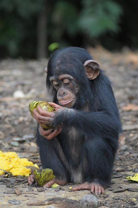 Adada açlığa terk edilen şempanzeler, ellerindeki sınırlı miktardaki yemeklerini de paylaşıyorlar-11
