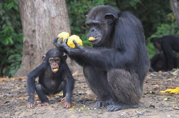 Adada açlığa terk edilen şempanzeler, ellerindeki sınırlı miktardaki yemeklerini de paylaşıyorlar-2