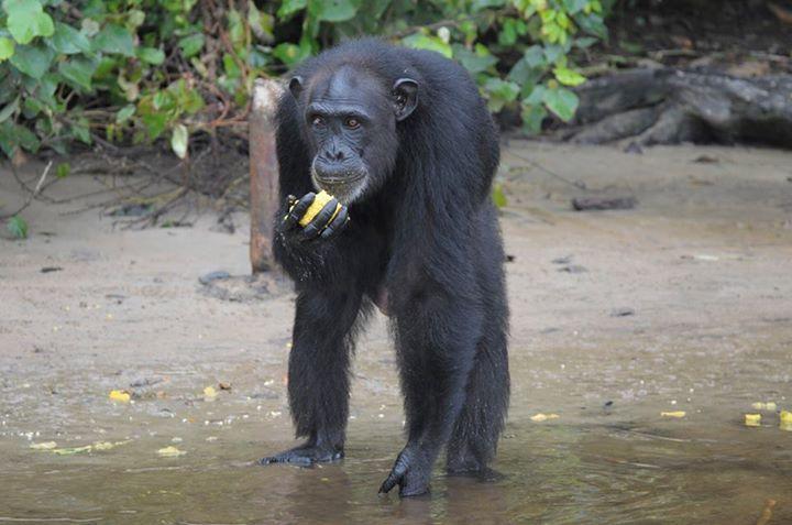 Adada açlığa terk edilen şempanzeler, ellerindeki sınırlı miktardaki yemeklerini de paylaşıyorlar-3